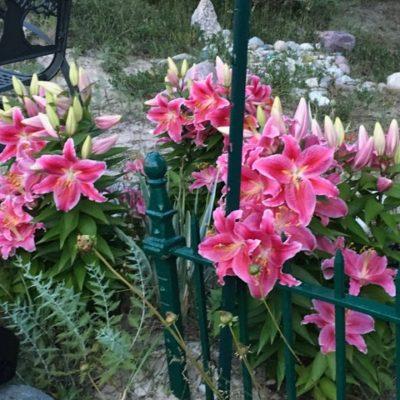 Star Gazer Lillies